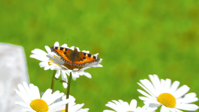 close up tortoise-shell butterfly on white daisy - tortoise shell stock videos & royalty-free footage
