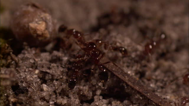 close up tracking left - ants carrying twig /  - twig stock videos & royalty-free footage