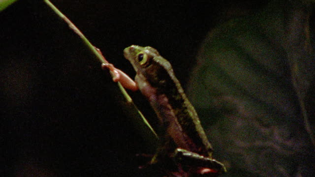 close up tracking shot brown frog climbing up plant / tambopata, peru - tambopata stock videos and b-roll footage