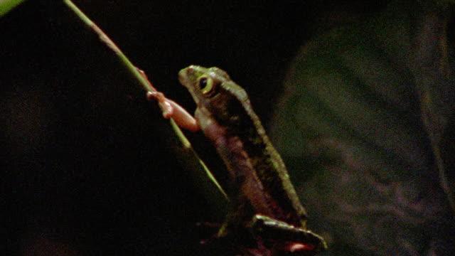vídeos de stock, filmes e b-roll de close up tracking shot brown frog climbing up plant / tambopata, peru - tambopata