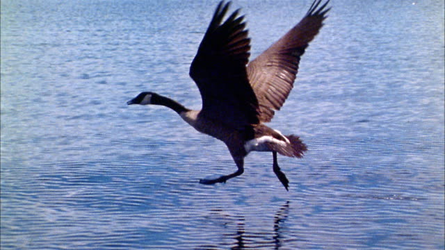 close up tracking shot goose running on surface of water and flying - canada goose stock videos & royalty-free footage