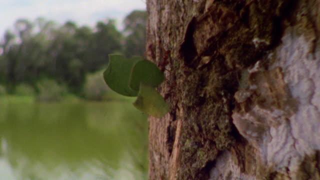 vídeos de stock e filmes b-roll de close up tracking shot leaf cutter ants carrying pieces of leaves down tree trunk in rain forest / manu, peru - saúva da mata