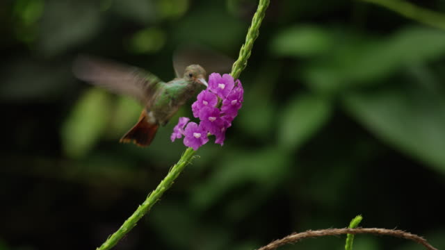 vídeos de stock, filmes e b-roll de close up tracking shot of hummingbird drinking from flowers / arenal, alajuela, costa rica - hummingbird