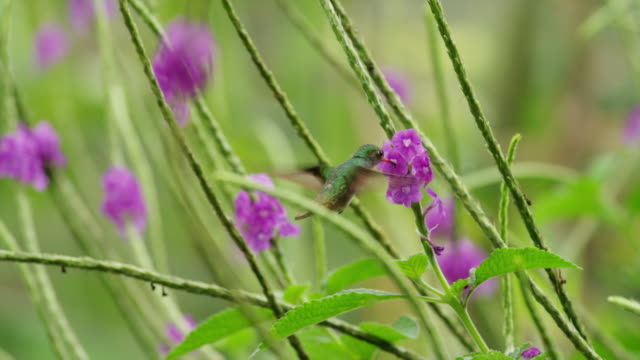 "vídeos de stock, filmes e b-roll de ""close up tracking shot of hummingbird drinking from flowers / arenal, alajuela, costa rica"" - hummingbird"