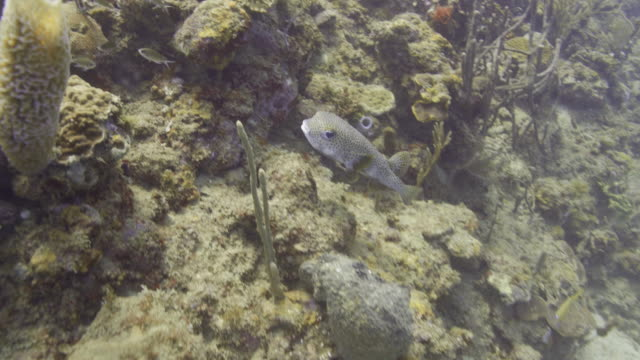 close up tracking shot of puffer fish swimming / st. georges, greneda - st. george's grenada stock videos and b-roll footage