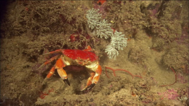close up tracking shot red crab walking along the ocean floor / queensland, australia - crab stock videos & royalty-free footage