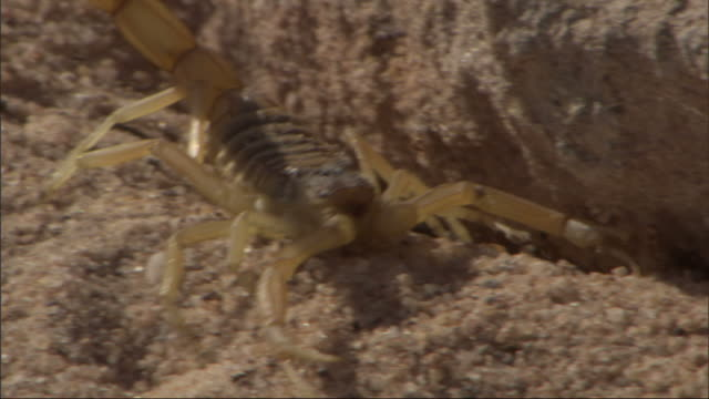 close up, tracking-right - a scorpion digs in the sand and crawls under a rock / egypt - graben körperliche aktivität stock-videos und b-roll-filmmaterial