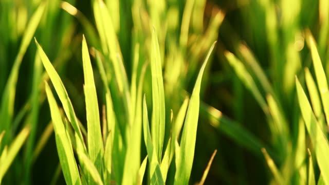 間近で静かな緑の小麦の茎、スローモーションの風に揺れる - イネ科点の映像素材/bロール