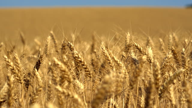 close up travel shot, field of golden sunlit durum wheat ears - wheat stock videos & royalty-free footage