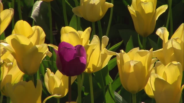 vídeos de stock, filmes e b-roll de close up tulips/ zoom out medium shot yellow tulips with one purple tulip in middle/ willamette valley, oregon - medium group of objects