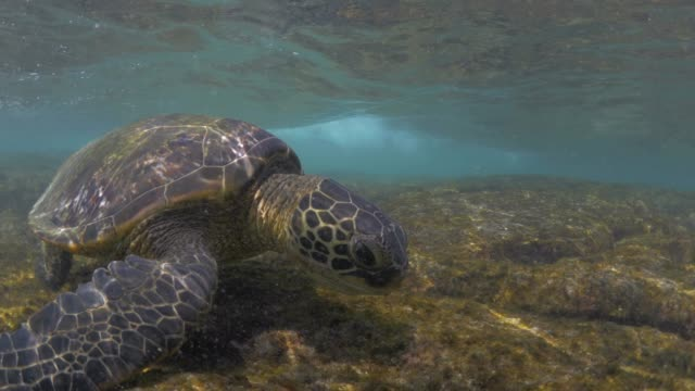 close up: turtles fighting shallow ocean waves - oceania stock videos & royalty-free footage