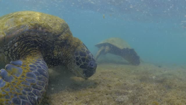 close up: turtles searching mossy ocean rocks - chelonioidea stock-videos und b-roll-filmmaterial