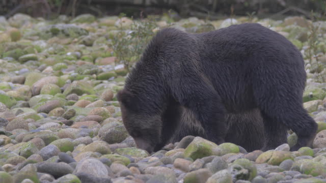 vidéos et rushes de close up: two bears digging, searching in rocky shore - bois