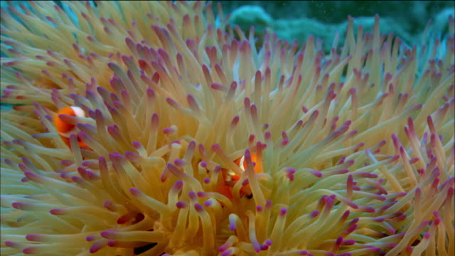 close up two clownfish swimming in host anemone / coral sea / australia - sea anemone stock videos & royalty-free footage