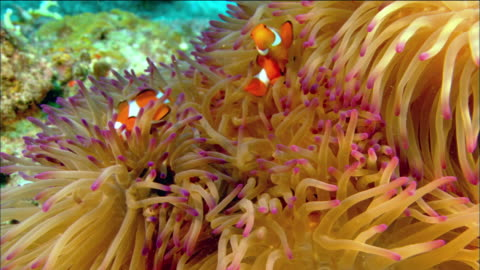 close up two clownfish swimming in host anemone / coral sea / australia - damselfish stock videos & royalty-free footage