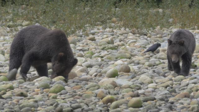 close up: two grizzly bears digging in rocky shore - young animal stock videos & royalty-free footage