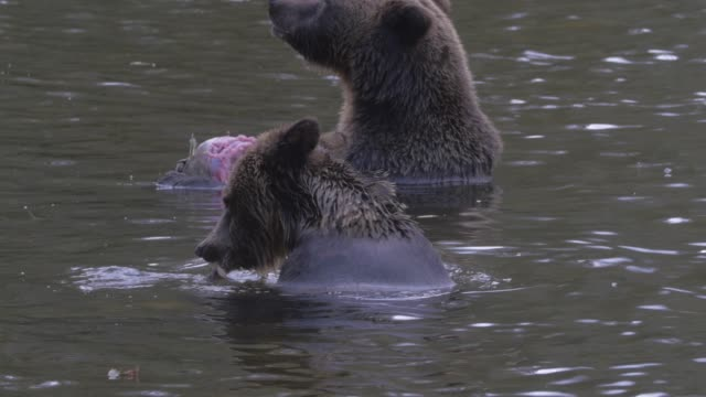 Close Up: Two Grizzly Bears Eating, Chewing Fish In River