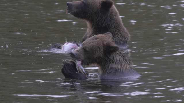 vidéos et rushes de close up: two grizzly bears ripping apart and eating fish in river - claw