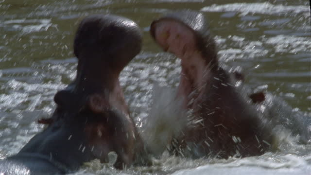 vidéos et rushes de close up two hippopotami fighting in water / africa - animal mouth