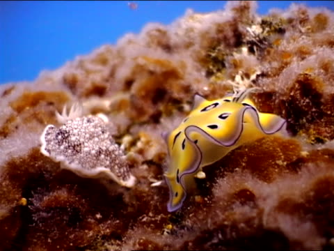 close up two nudibranchs feeding off coral - 軟体動物点の映像素材/bロール