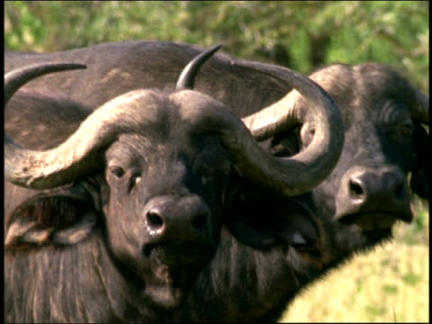 vídeos y material grabado en eventos de stock de close up two oxen near lake nakuru / kenya - herbívoro