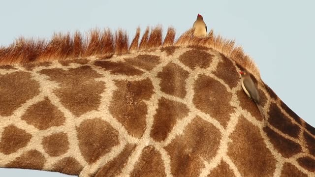 close up two oxpeckers are sitting on a giraffe in kruger national park the kruger national park was established in 1898 and is south africa's... - giraff bildbanksvideor och videomaterial från bakom kulisserna