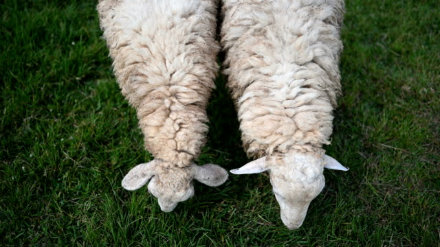 close up two sheep graze while enjoy eat grass in the green meadows - sheep stock videos & royalty-free footage