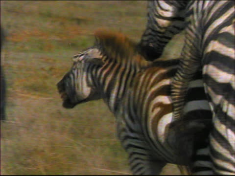 close up PAN two zebras mating / female trying to escape / Africa