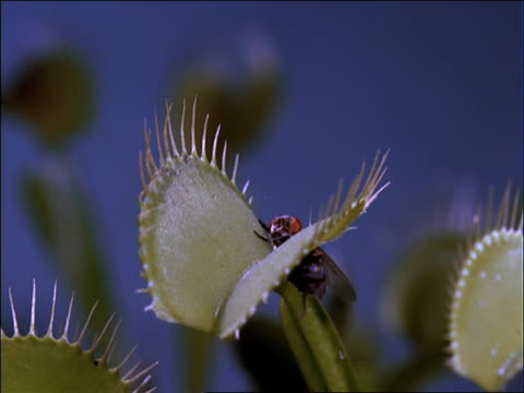 close up Venus fly-trap plant capturing fly