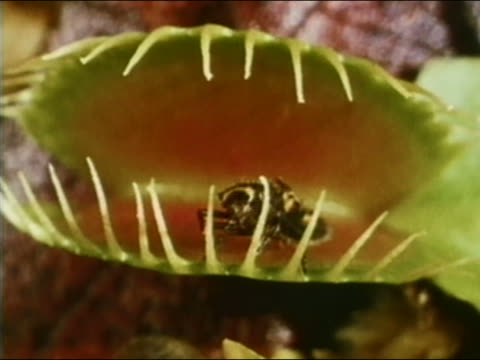 1966 close up venus flytrap snapping leaves shut on insect - insectivore stock videos & royalty-free footage