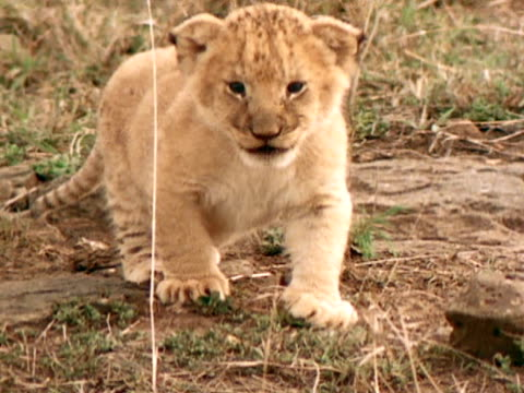 close up - lion cub stock videos & royalty-free footage