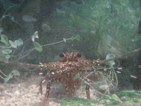 close up - lobster stock videos & royalty-free footage