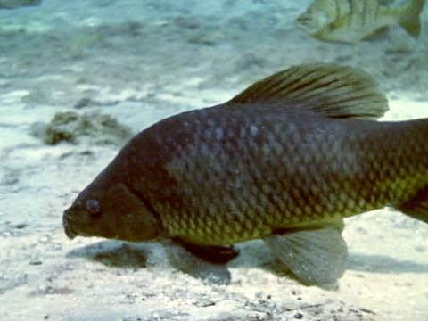 close up - remora fish stock videos & royalty-free footage