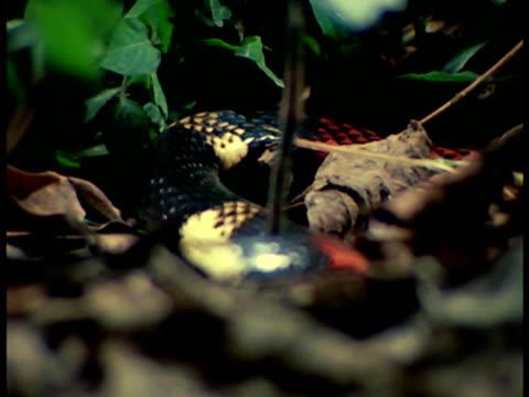 vídeos de stock e filmes b-roll de close up - cobra