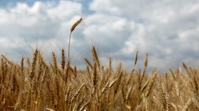 vídeos de stock e filmes b-roll de plano aproximado vídeo de campo de trigo no vento - imagem tonalizada