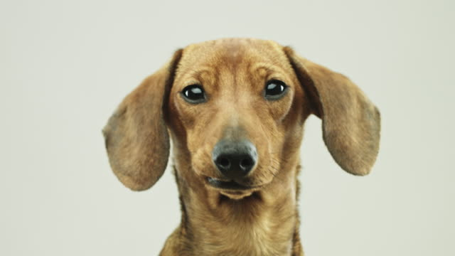 close up video portrait of cute little dachshund dog - studio shot stock videos & royalty-free footage