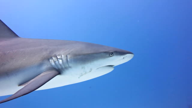 close up view of a caribbean reef shark swimming in blue water, gardens of the queens national park in southern cuba. - caribbean reef shark stock videos and b-roll footage