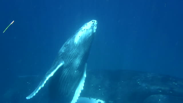 Close up view of a humpback whale calf swimming to the surface.