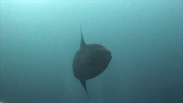 """stockvideo's en b-roll-footage met close up view of a large oceanic sunfish, or mola mola, swimming in blue water at the dive site called """"punta vicente roca"""" on the northern shores of isabela island, galapagos islands, ecuador. - klompvis"""
