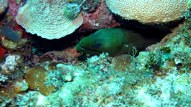 close up view of a moray eel resting amongst the hard corals, gardens of the queens national park in southern cuba. - moray eel stock videos and b-roll footage