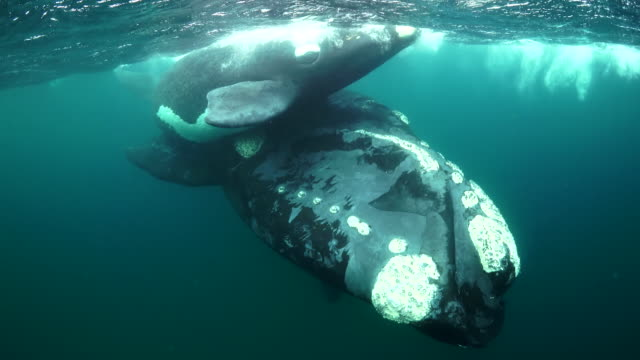 Close up view of a mother southern right whale and her calf interacting and following divers, Nuevo Gulf, Valdes Peninsula, Argentina.
