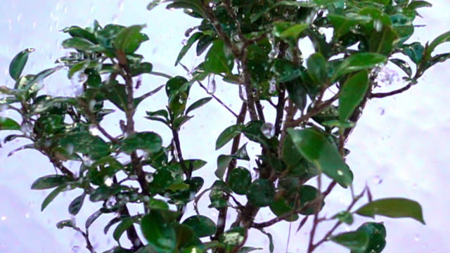 a close up view of a revolving bonsai being watered in slow motion. - david ewing stock videos & royalty-free footage