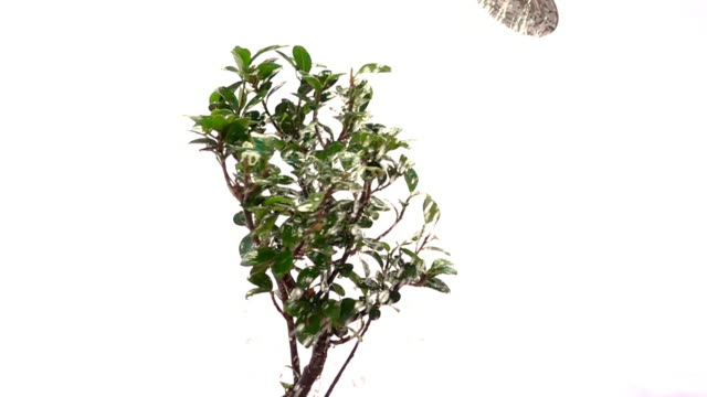 a close up view of a revolving bonsai being watered in slow motion. - watering can stock videos & royalty-free footage