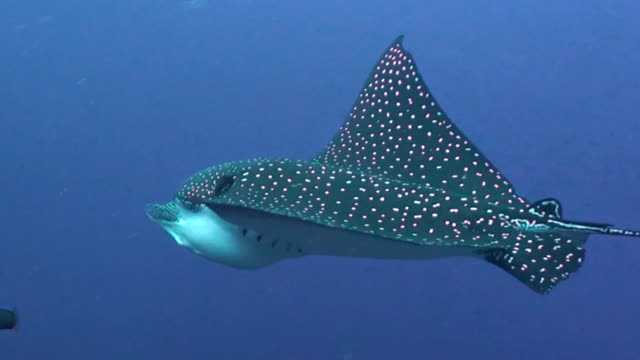 Close up view of a spotted eagle ray as it swims into the current, Darwin Island, Galapagos Islands, Ecuador.