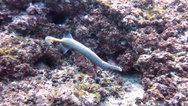 close up view of a trumpet fish swimming over the coral reef, cocos island, costa rica. - trumpet fish stock videos & royalty-free footage