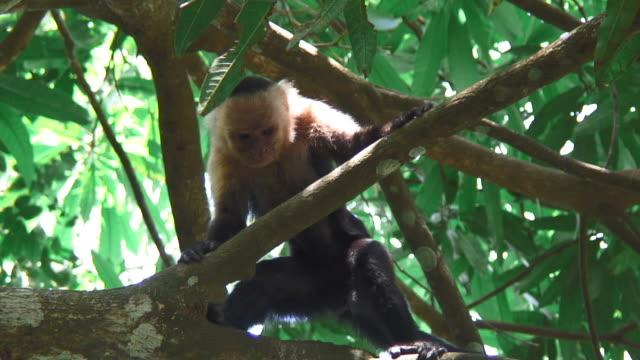 Close Up View Of A White Faced Capuchin Monkey In Uvita Costa Rica