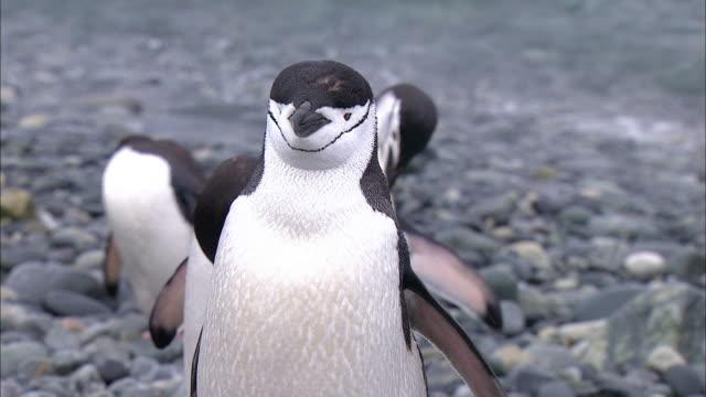 close up view of chinstrap penguins - kopf schütteln stock-videos und b-roll-filmmaterial