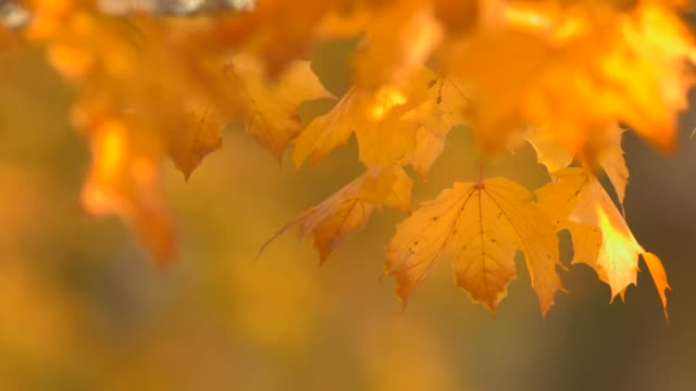 close up view of fall color leaves in autumn - season stock videos & royalty-free footage