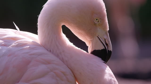 close up view of flamingos face - flamingo bird stock videos & royalty-free footage