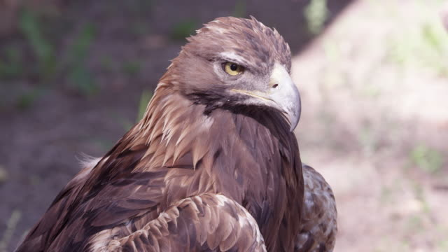 close up view of golden eagle - adler stock-videos und b-roll-filmmaterial